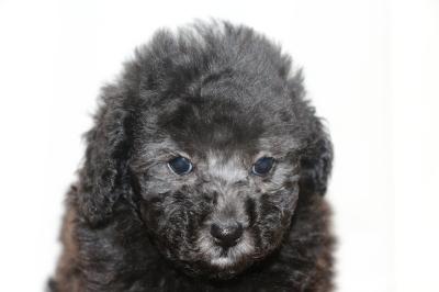 ティーカッププードルトイプードルシルバーの子犬メス、生後7週間画像