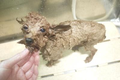 トイプードルブリーダーの成犬,シャンプ画像