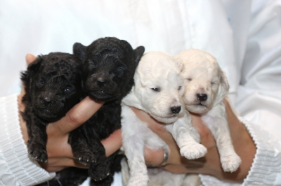 トイプードルシルバーオスメスホワイト(白)オスメスの子犬、生後2週間画像