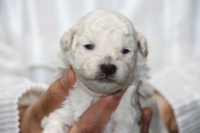 トイプードルホワイト(白)オスの子犬、生後2週間画像