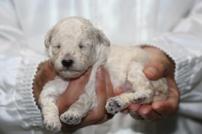 トイプードルホワイト(白)メスの子犬、生後2週間画像
