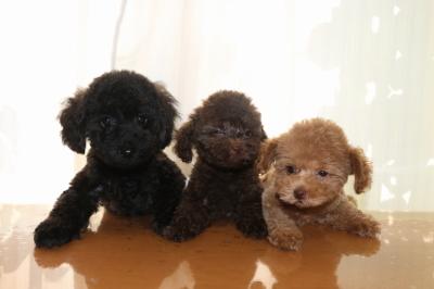 トイプードルの子犬、ブラック(黒)ブラウンオスアプリコットメス、生後2ヵ月画像