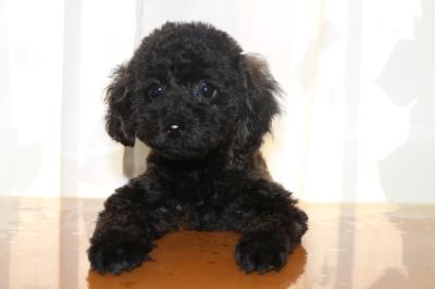 トイプードルブラック(黒)の子犬オス、生後2ヵ月画像