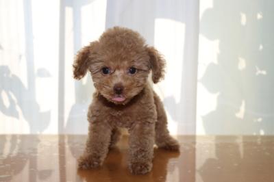 トイプードルアプリコットの子犬メス、生後2ヵ月画像