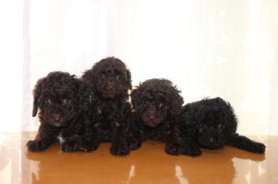 トイプードルブラウンオス1頭メス2頭ブラック(黒)メス1頭の子犬、生後6週間画像