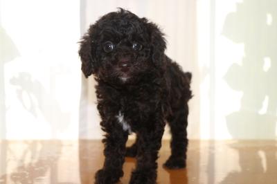 トイプードルブラウンオスの子犬、生後6週間画像