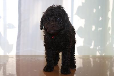 トイプードルブラウンメスの子犬、生後6週間画像
