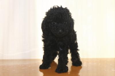 トイプードルブラック(黒)メスの子犬、生後6週間画像