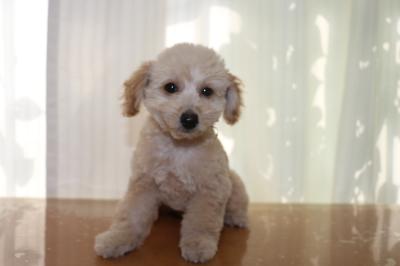トイプードルクリームの子犬オス、千葉県船橋市そら君画像
