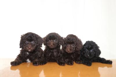 トイプードルブラウンオス1頭メス2頭ブラック(黒)メス1頭の子犬、生後7週間画像