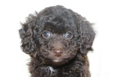 トイプードルブラウンオスの子犬、生後7週間画像