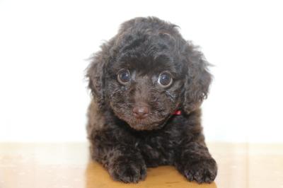 トイプードルブラウンメスの子犬、生後7週間画像