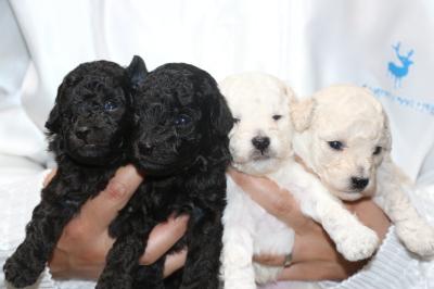 トイプードルシルバーオスメスホワイト(白)オスメスの子犬、生後3週間画像