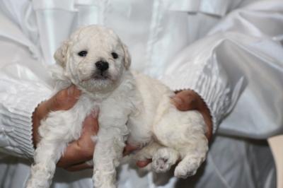 トイプードルホワイト(白)の子犬オス、生後3週間画像