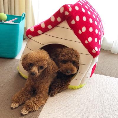 トイプードルレッドの多頭飼い、神奈川県横浜市ドルチェ&マフィン画像