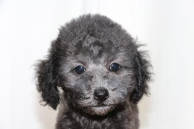 タイニーサイズトイプードルシルバーの子犬メス、生後2ヵ月画像