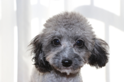 トイプードルシルバーの子犬オス、生後4ヵ月画像