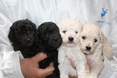 トイプードルシルバーオスメスホワイト(白)オスメスの子犬、生後4週間画像