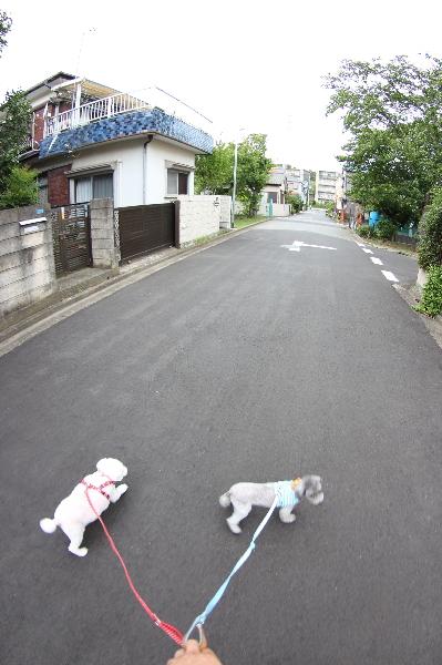 ペットホテルin千葉県トイプードルテディ&ルフィちゃんfrom船橋市画像