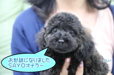 トイプードルブラック(黒)の子犬オス、神奈川県横浜市小夜君画像