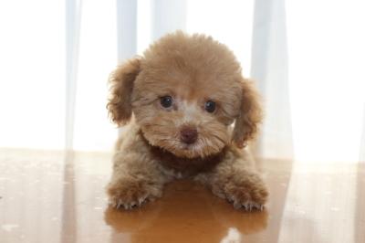 トイプードルアプリコットの子犬メス、千葉県千葉市アムちゃん画像