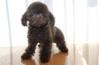 タイニーサイズトイプードルブラウンの子犬オス、生後2ヵ月半画像