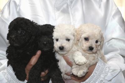 トイプードルシルバーオスメスホワイト(白)オスメスの子犬、生後5週間画像