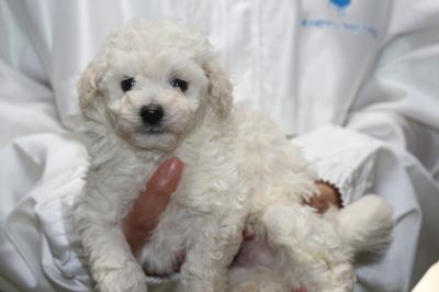 トイプードルホワイト(白)の子犬オス、生後5週間画像