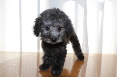 トイプードルシルバーの子犬メス、東京都渋谷区はなちゃん画像