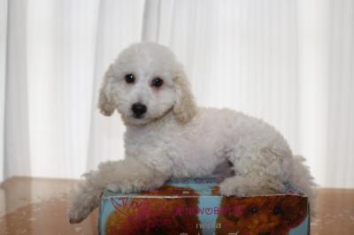 トイプードルホワイト(白)の子犬オス、生後2ヵ月半画像
