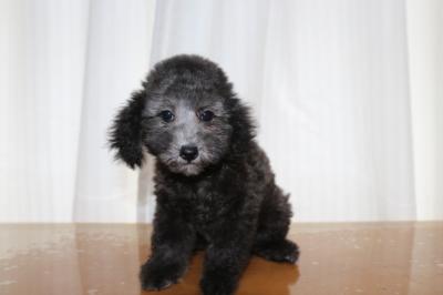 タイニーサイズトイプードルシルバーの子犬メス、生後2ヵ月半画像