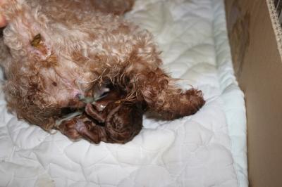 トイプードルレッドの出産、産まれたばかりの子犬画像