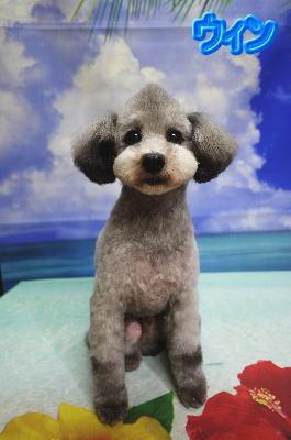 トイプードルの成犬のトリミング画像