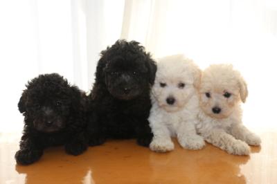 トイプードルシルバーオスメスホワイト(白)オスメスの子犬、生後6週間画像