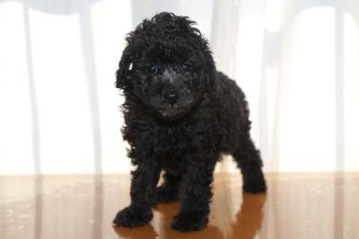 トイプードルシルバーの子犬メス、生後6週間画像