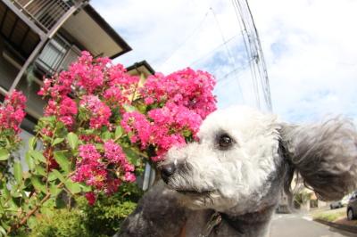 ペットホテルin千葉県トイプードルさくらちゃんfrom静岡県画像
