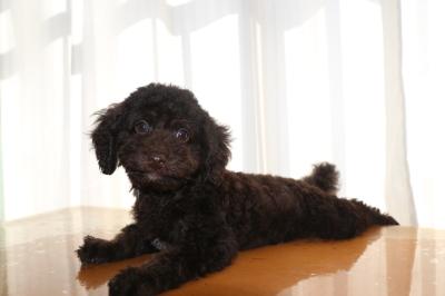 トイプードルブラウンの子犬オス、東京都中央区おこげ君画像