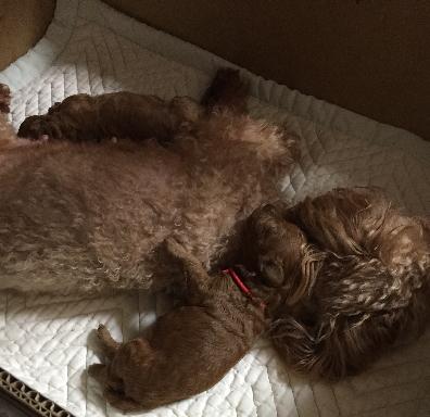 インスタグラムトイプードルレッドの子犬メス2頭、生後1週間画像