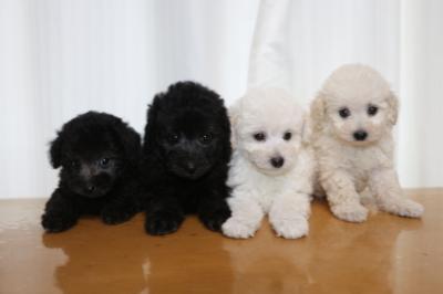 トイプードルシルバーオスメスホワイト(白)オスメスの子犬、生後7週間画像