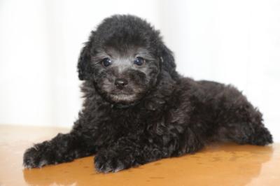 トイプードルシルバーオスの子犬、生後7週間画像