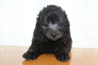 トイプードルシルバーメスの子犬、生後7週間画像