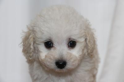 トイプードルホワイト(白)メスの子犬、生後7週間画像