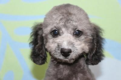 トイプードルシルバーの子犬メス、生後3ヵ月画像