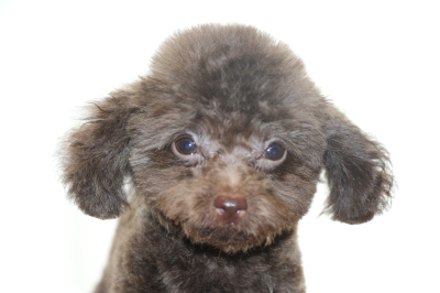 ティーカッププードルブラウンの子犬オス、生後3ヵ月画像