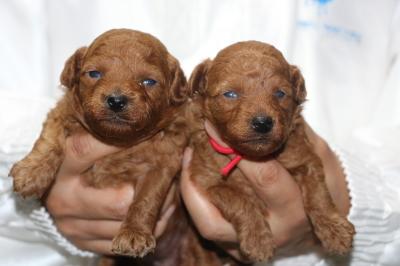 トイプードルレッドの子犬メス2頭、生後2週間画像