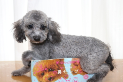 トイプードルシルバーの子犬オス、生後5ヵ月画像