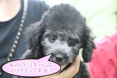 トイプードルシルバーの子犬メス、東京都港区ココイチちゃん画像