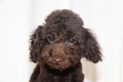 トイプードルブラウンの子犬メス、生後3ヵ月画像