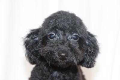 トイプードルブラック(黒)の子犬メス、生後3ヵ月画像