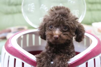 ティーカッププードルブラウンの子犬オス、生後3ヵ月半画像